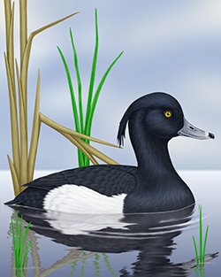 Tufted Duck Thumbnail Body Largest.png