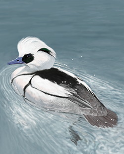 Smew Thumbnail Body Largest.png