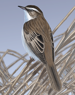 Sedge Warbler Thumbnail Body Largest.png