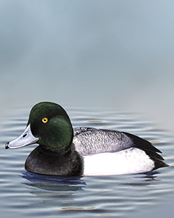 Scaup Thumbnail Body Largest.png