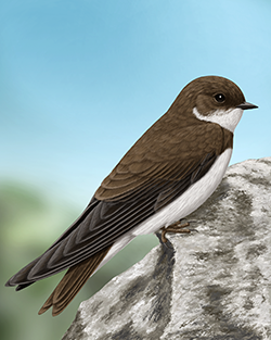 Sand Martin Thumbnail Body Largest.png