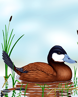 Ruddy Duck Thumbnail Body Largest.png