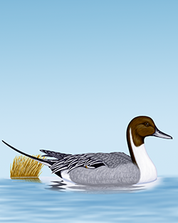 Pintail Thumbnail Body Largest.png