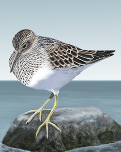 Pectoral Sandpiper Thumbnail Body Largest.png