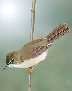 Marsh Warbler Thumbnail Body Largest.png