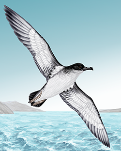 Manx Shearwater Thumbnail Body Largest.png