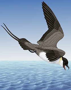 Long-tailed Skua Thumbnail Body Largest.png