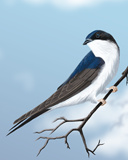 House Martin Thumbnail Body Largest.png