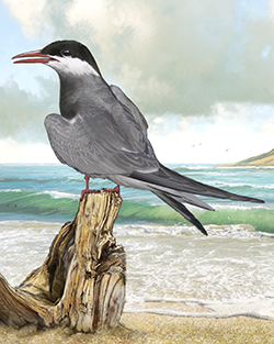 Whiskered Tern Thumbnail Body Largest.png
