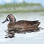 Blue-winged Teal_CEIcon.jpg