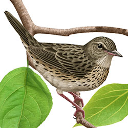 Lanceolated Warbler Body Illustration.jpg
