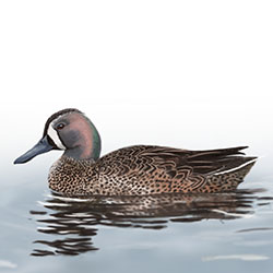 Blue-winged Teal Body Illustration.jpg