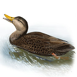 Black Duck Body Illustration.jpg