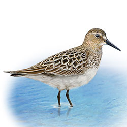 Baird's Sandpiper Body Illustration.jpg