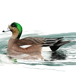 American Wigeon Body Illustration.jpg