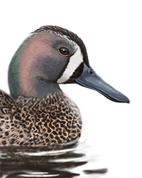 Blue-winged Teal Thumbnail Head Largest.png