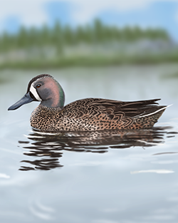 Blue-winged Teal Thumbnail Body Largest.png