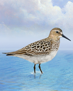 Baird's Sandpiper Thumbnail Body Largest.png