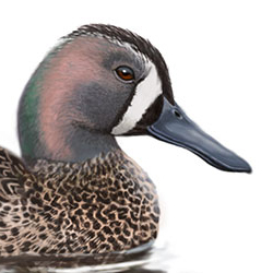 Blue-winged Teal Head Illustration.jpg
