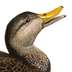 Black Duck Head Illustration.jpg