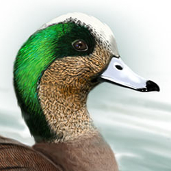 American Wigeon Head Illustration.jpg