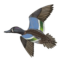 Blue-winged Teal Flight Illustration.jpg