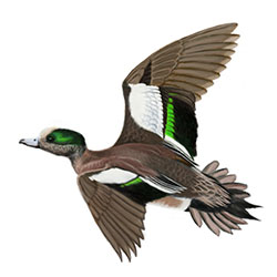 American Wigeon Flight Illustration.jpg